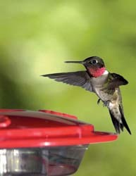 Hummingbird Feeder with Nectar